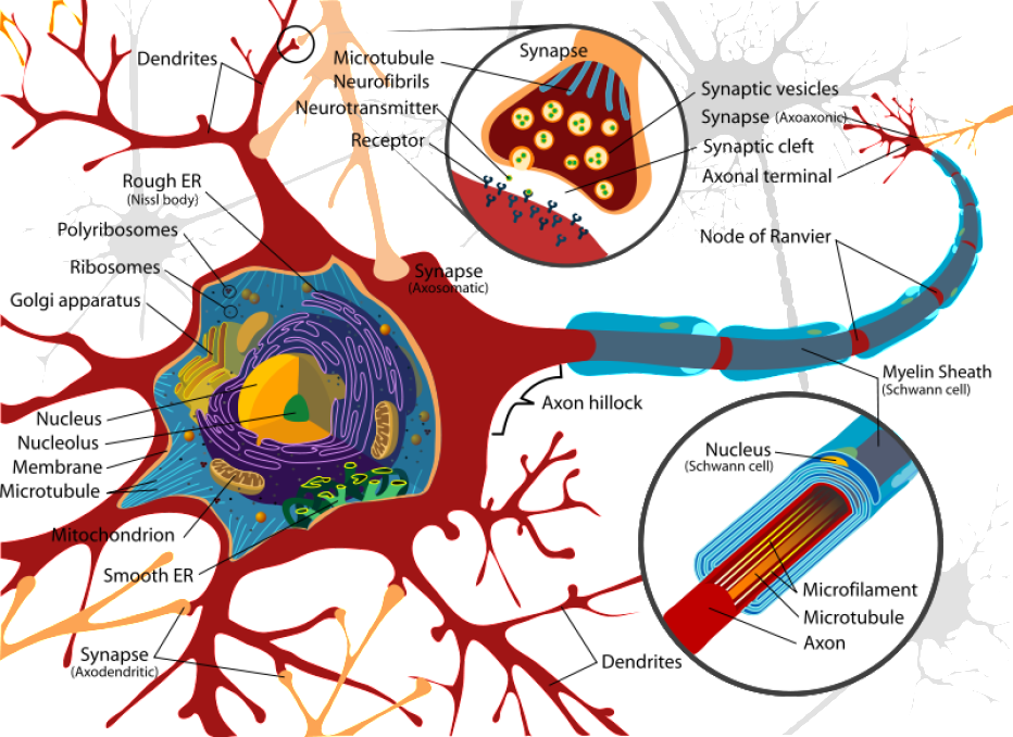 How Brain Cells Work | Learnodo Newtonic