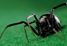 Black Widow Spider Facts Featured