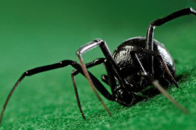 10 Interesting Facts About Black Widow Spiders