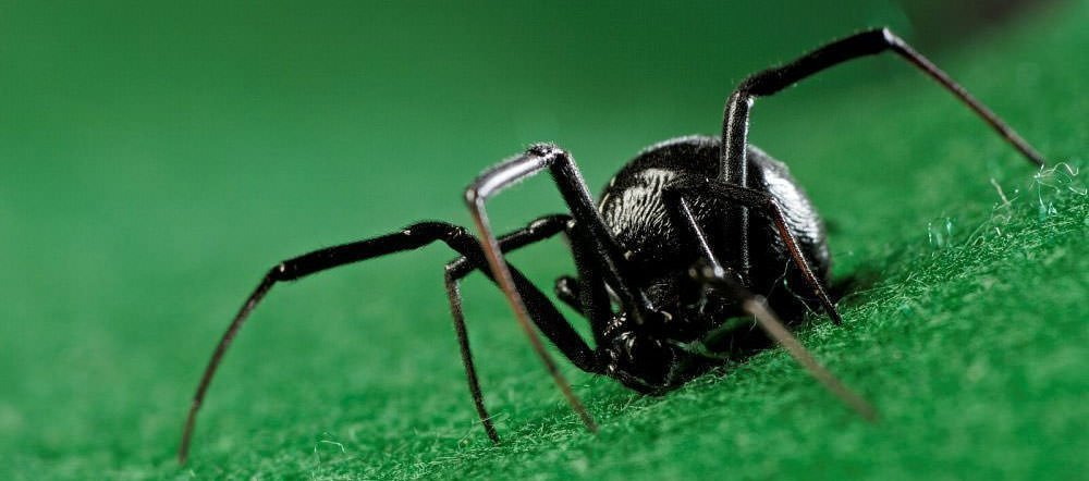 10 interesting facts about black widow spiders learnodo newtonic