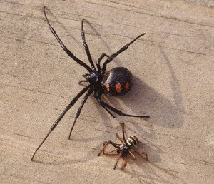 Female and male black widow spiders