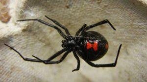 Hourglass marking on an adult female black widow