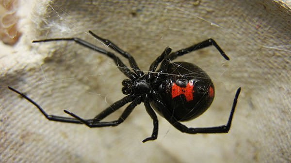 Hourglass marking on an adult female black widow
