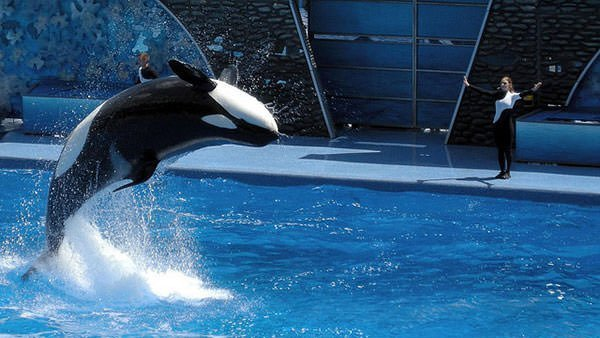 An orca in captivity