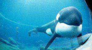 Keiko The Famous Killer Whale