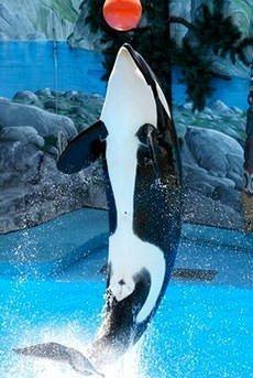 An orca in captivity