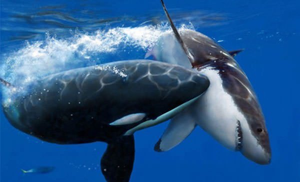 Orca | 10 Interesting Facts About The King of The Ocean ...