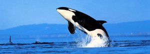 Killer Whale Facts Featured