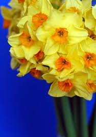 Most interesting flowers #6 Daffodils