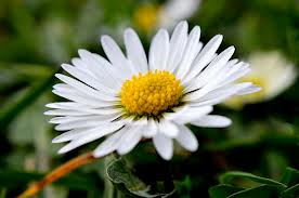 Most interesting flowers #5 Daisies