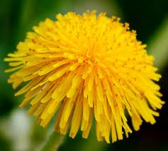 Most interesting flowers #3 Dandelions