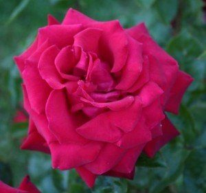 Most interesting flowers #7 Roses