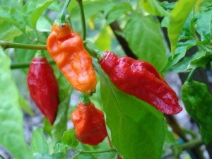 Red Naga Chili