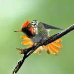 Frilled Coquette Hummingbird