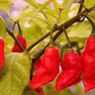 10 Hottest Chillies In The World by Scoville Scale