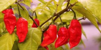 10 Most Hottest Chillies Featured Image
