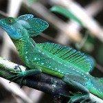 A Green Basilisk