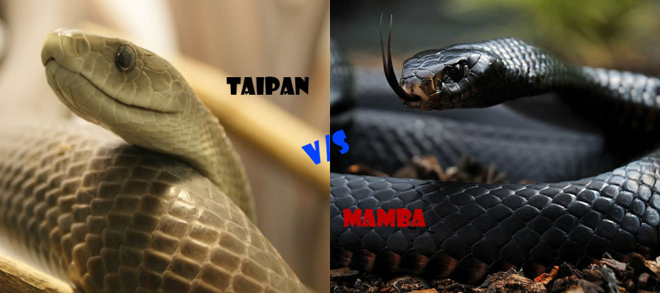 Inland Taipan vs Black Mamba | Vote for the World's Deadliest Snake