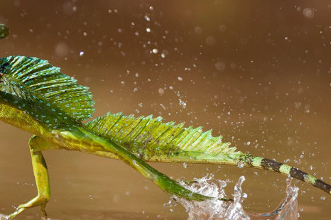 Jesus Christ Lizard   3 Facts About This Amazing Animal