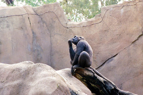 Santino: The Chimp Who Can Think Ahead