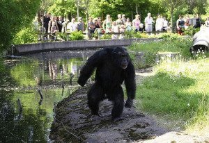 Santino the Chimp
