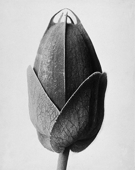 Passionsblume Passion Flower (Photo by Karl Blossfeldt)