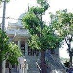A Ginkgo tree in Hiroshima