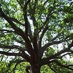 A Live Oak Tree