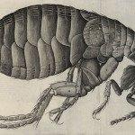 Flea diagram by Robert Hooke