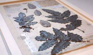 Lewis and Clark expedition specimen