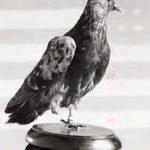 Cher Ami WW1 pigeon