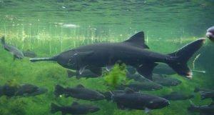 Mississippi paddlefish