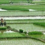 Mekong Delta Rice